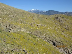 The mountains were colored in yellow flowers